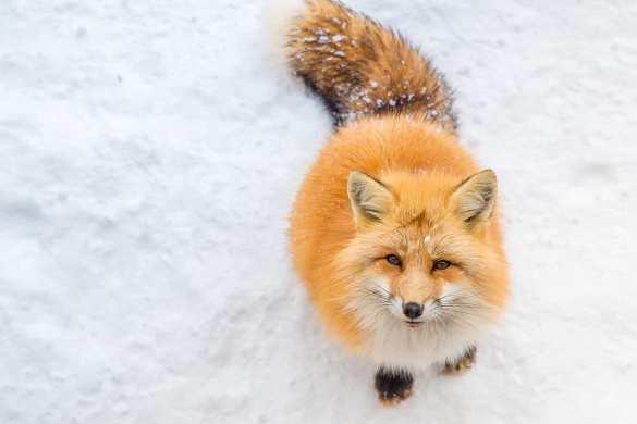raposa simbolo na neve
