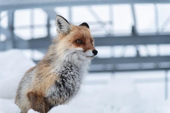 raposa simbolo da Foxbit com fundo na neve