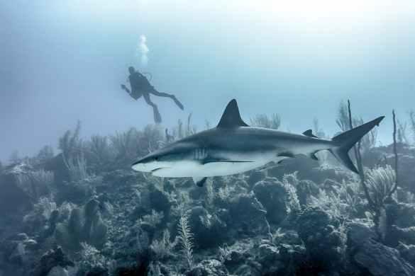 Tubarão da Bitrecife.